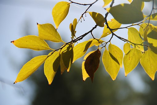Tree, Lief, Autumn, Natural, Garden, Ecology, Yellow