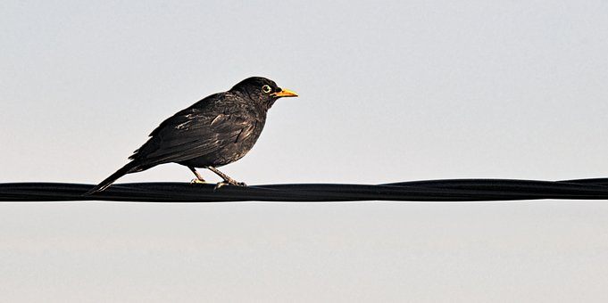 Kos, Bird, Cable, Black Bird, Yellow Beak, Nature