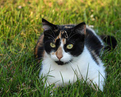 Cat, Tricolor, Grass, Lying