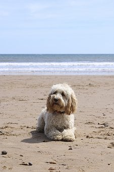 Beach, Dog, Ball, Cockapoo, Puppy, Summer, Sand, Pet