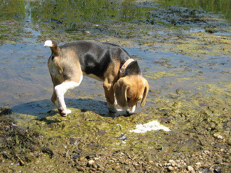 Beagle, Dog, Water, Copper, Snooping, Search, Puppy