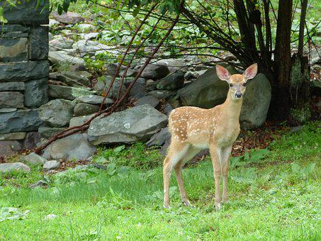 Deer, Animal, Wild, Nature, Forest, Mammal, Doe
