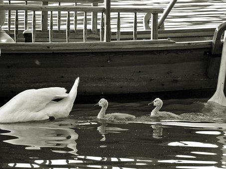 Animal, Swans, Boy, Lake Bled, Karawanken, Jumbo