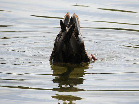 Water Bird, Diving, Water, Plumage, Cute, Waterfowl