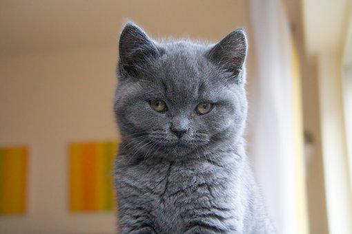 Cat, Chartreux, Grey, Short Hair