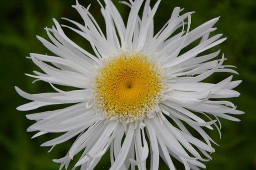 Marguerite, Flower, White, Petals, Nature, Spring