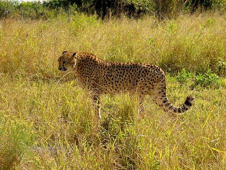 Cheetah, Big Cat, Predator, Carnivores, Creature