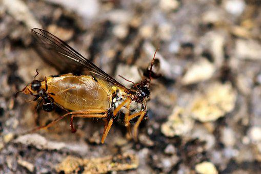 Insect, Ant, Hoverfly, Prey, Dead, Drag Off, Nature