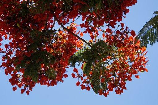 Flamboyant, Delonix Regia, Summer, Red, Flowers