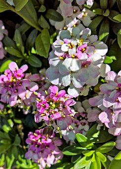 Flowers, Phlox, Flame Flower, Pink, White, Flower Shrub