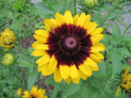 Blanketflower, Garden, Yellow, Perennial