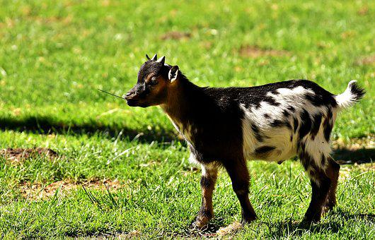 Goat, Kid, Animal, Domestic Goat, Farm, Small Goat