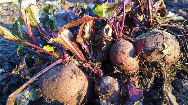 Beetroot, Allotment, Growing, Gardening, Harvesting