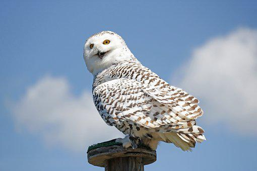 Hedwig, Harry Potter, White, Snowy Owl, Owl