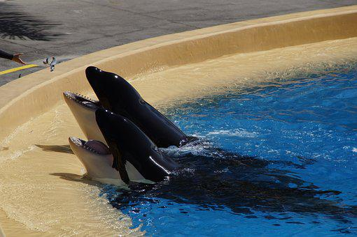 Orka, Killer Whale, Killer, Begging, Foot, Tooth, Pool