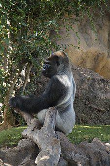 Gorilla, Males, A Male Gorilla, Monkey, Pose, Poznan