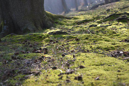 Forest, Moss, Incidence Of Light, Nature, Forest Floor
