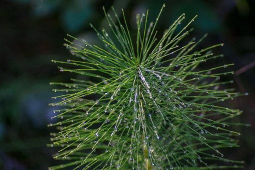 Horsetail, Green, Drops, Rosa, Summer, Plant