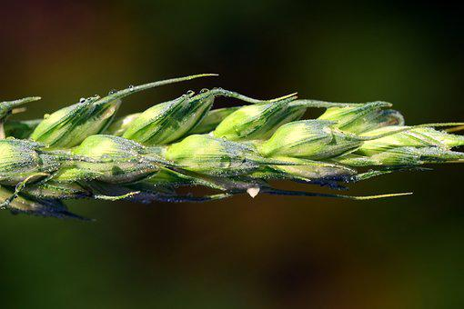 Ear, Wheat, Cereals, Grain, Close, Agriculture, Summer