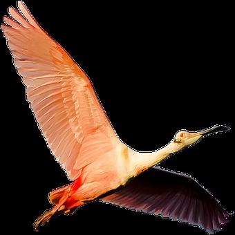 Isolated, Flamingo Pink, Wild, Nature, Animal