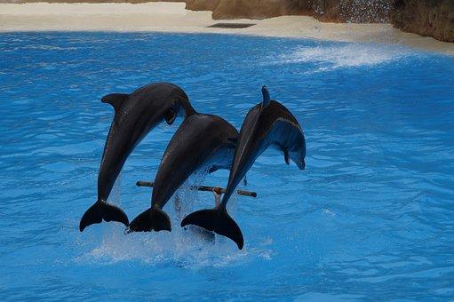 Dolphins, Swim, Dolphin, Marine Mammals, Meeresbewohner
