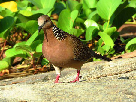 Dove, Spotted Dove, Pigeon, Birds, Peace