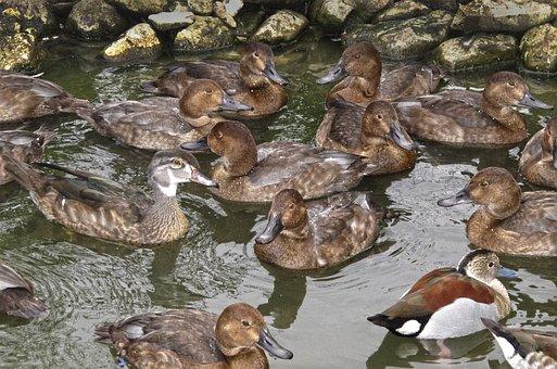 Ducks, Duck Pond, Thread, Mess, Water Bird