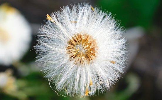 Dandelion, Flower, Nature, Plant, Macro, Flying, Wind