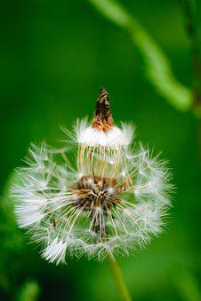 Dandelion, Flower, Nature, Macro, Plant, Seed, Flora