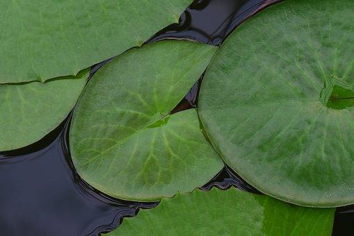 Pond, Water, Water Pond, Leaves, Leaves Pond Rose