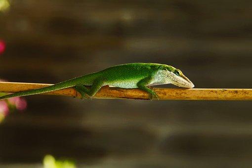 Lizard, Green, Nature, Reptile, Wildlife, Color, Skin
