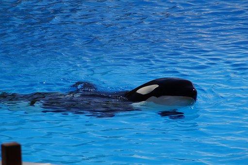 Orca, Wal, Killer, Killer Whale, Orcinus Orca, Animal