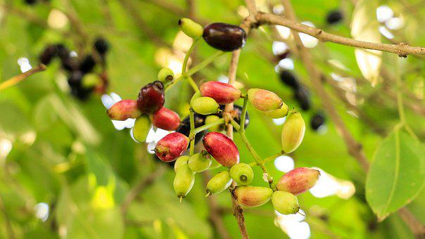 Jambolan Plum, Thai-berry, Fruit, Asian, Thailand