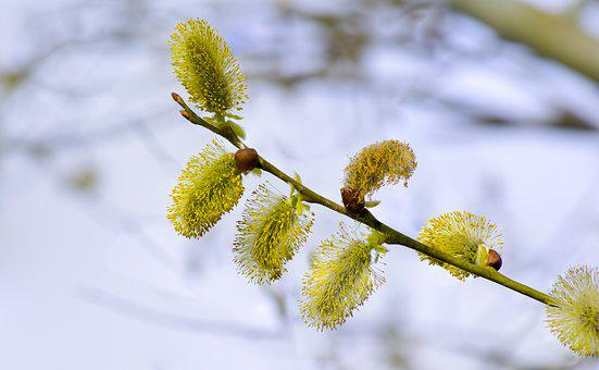 Spring, Tree, Willow, Branch, Flower, Green, Nature