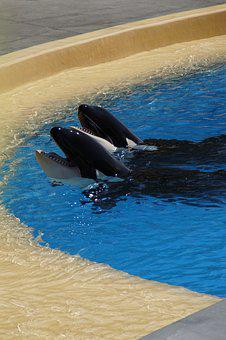 Orca, Wal, Killer, Killer Whale, Zoo, Orcinus Orca