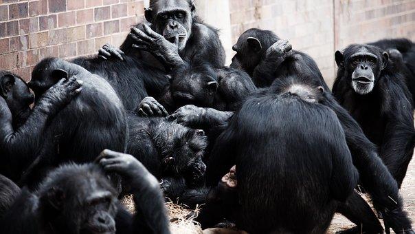 Animal, Apes, Black, Socialization, Socialize, Ape