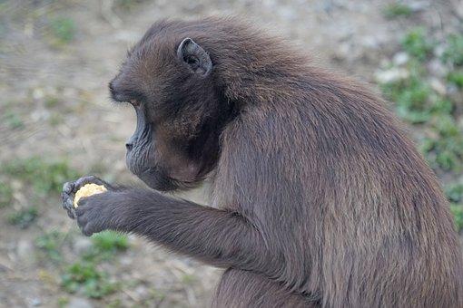 Dschelada, Monkey, Primate, Social, Food, Eat, Animal