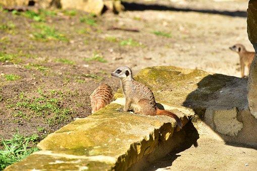 Meerkat, Guards, Attention, Animal, Watch, Social