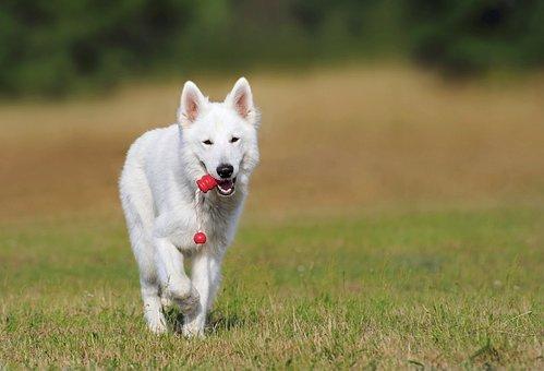 Swiss Shepherd Dog, Dog, White, Animal, Play, Pet