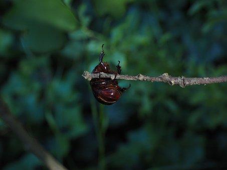 Rhinoceros Beetle, Branch, Climb, Crawl, Beetle