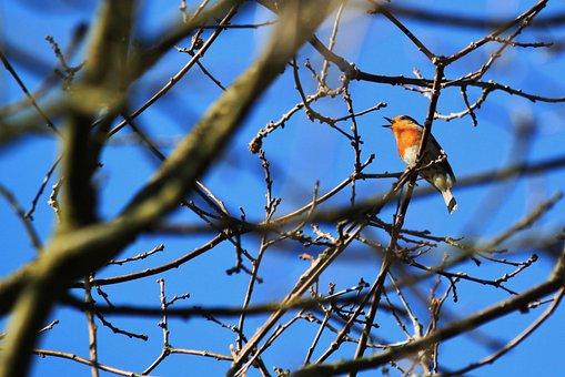 Bird, Songbird, Robin, Animal, Species, Animals, Nature