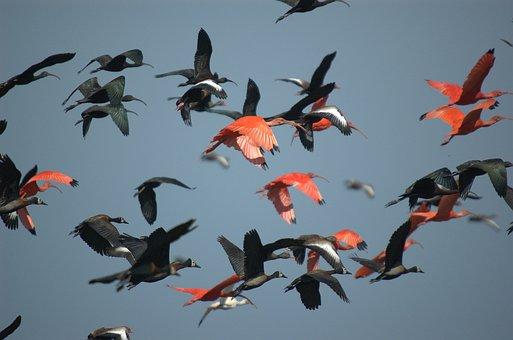 Ibis, Bird, Crow Flies, Faced Whistling Duck
