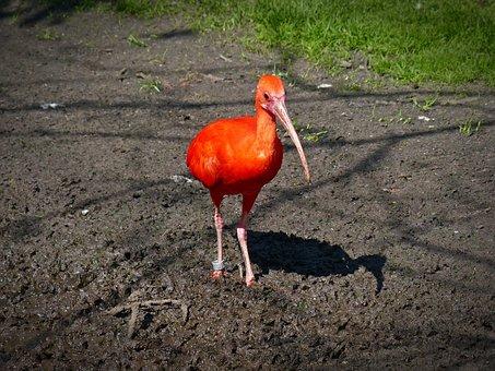Red Ibis, Ibis, Long Beak, Curved Beak, Bird