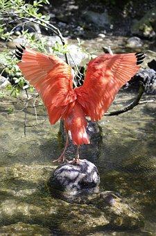Scarlet Ibis, Bird, Red, Red Ibis, Red Bird, Water