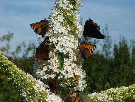 Butterfly, Animals, Insect, Nature, Buddleja Davidii