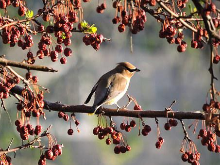 Cedar Waxwing, Waxwing, Bird, Nature, Berry, Branch