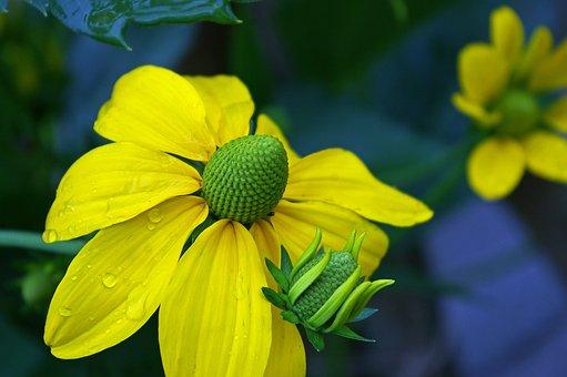 Coneflower, Yellow Flowers, Yellow, Blossom, Bloom