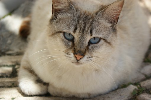 Cat, Laying, Pet, Animal, Domestic Animal, Feline, Cute