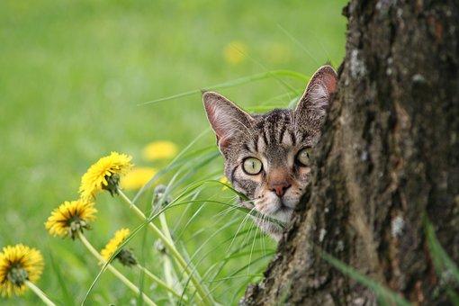 Domestic Cat, Brindled, Tomcat, Curious Cat