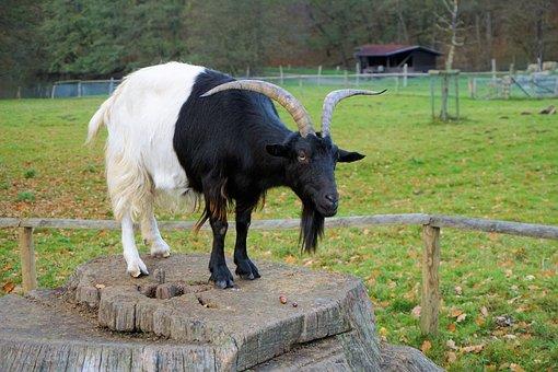 Billy Goat, Animal, Horns, Domestic Goat, Goat, Goatee